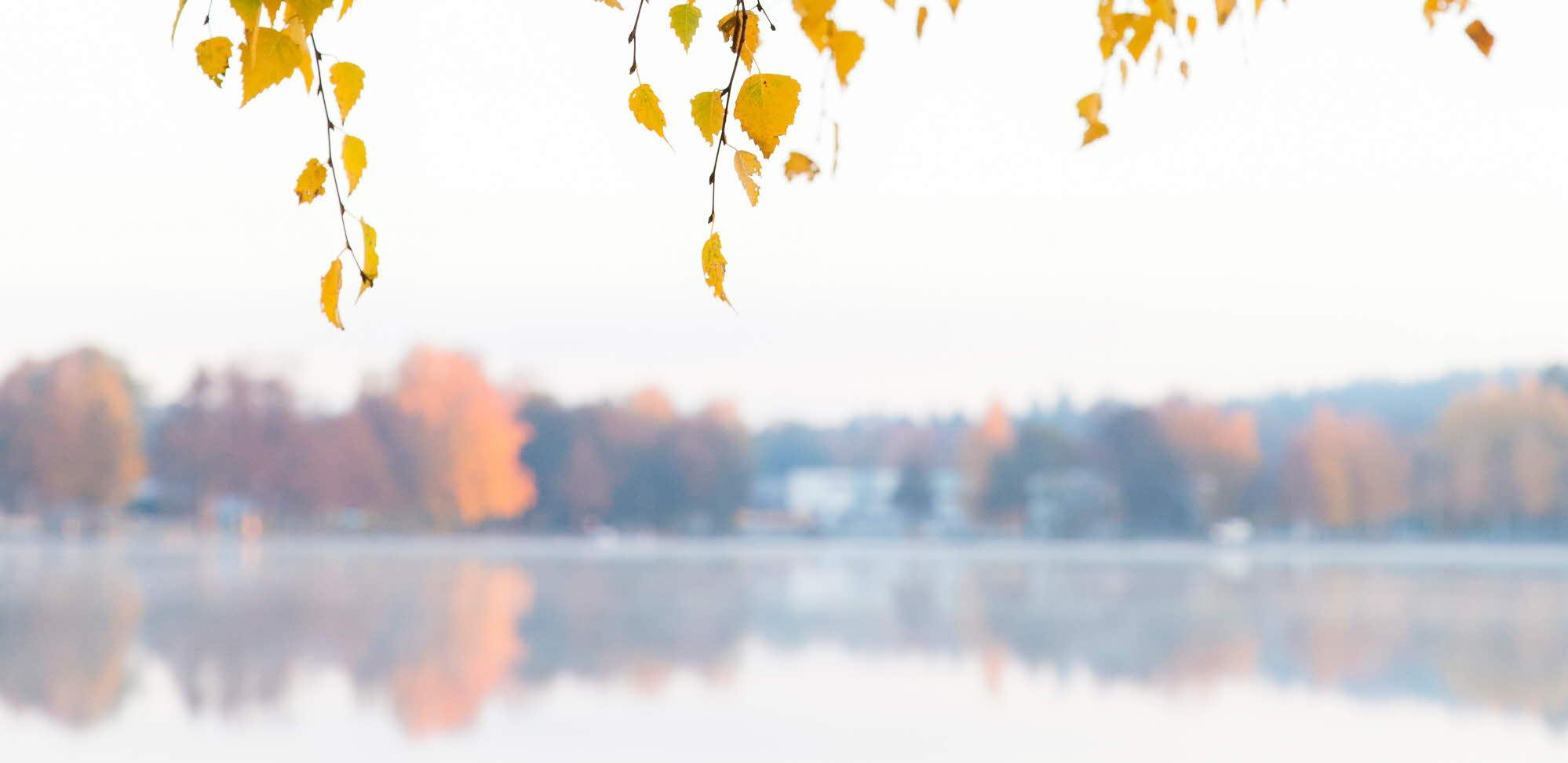 Trdägrenar med gula löv som tyder på tidig höst hänger över en sjö som finns i bakgrunden