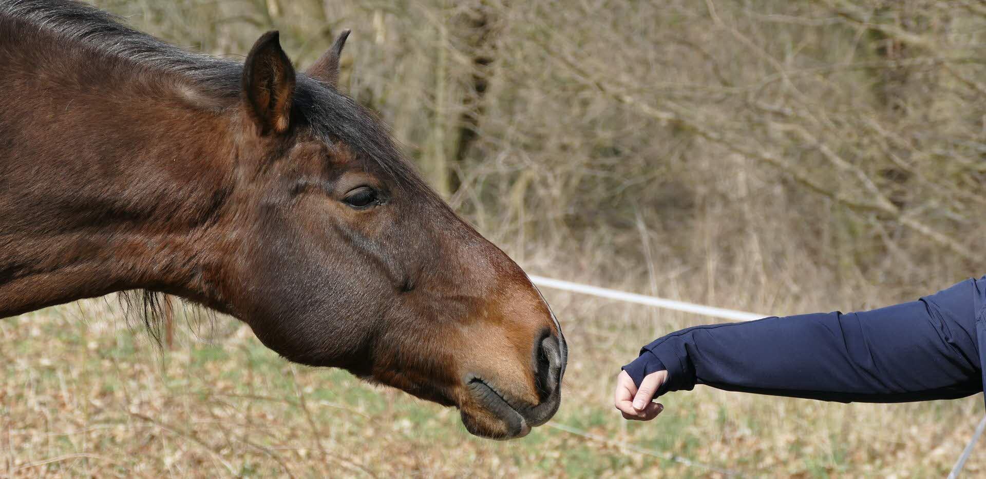 En häst som luktar på en framsträckt hand