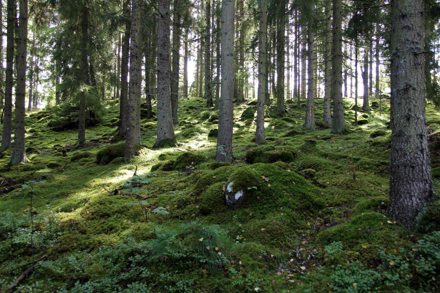 Mossa och barrskog